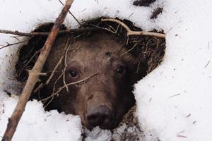 hibernare-urs